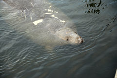 A Florida Manatee comes up for air in St Petersburg Stock Images