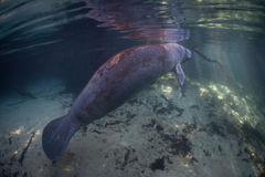 Florida Manatee Rises to Breathe. A Florida manatee rises to the surface of Crystal River, Florida, in order to breathe. The manatees arrive in freshwater rivers royalty free stock photography