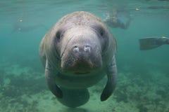 Florida Manatee som är undervattens- med Snorkelers arkivbilder