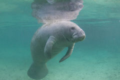 Florida Manatee Underwater Stock Photo