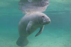Florida Manatee Underwater. Endangered Florida Manatee (Sea Cow) Underwater Stock Photo