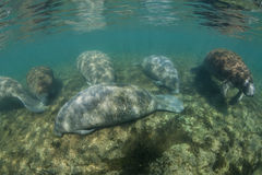 Florida Manatees in Shallows Royalty Free Stock Photos
