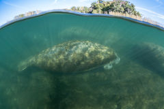 Florida Manatees Sleeping in Shallows of Crystal River Royalty Free Stock Photos