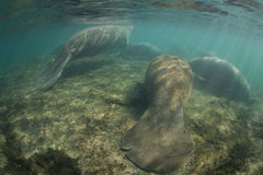 Florida Manatees Sleeping in Shallows Royalty Free Stock Images