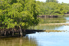 Florida Mangroves Stock Photos