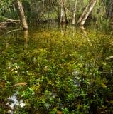 Florida Marsh in Fakahatchee Strand Royalty Free Stock Photography