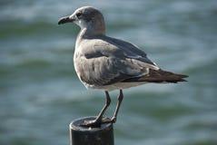 florida miami seagull Royaltyfri Fotografi