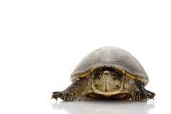 Florida mud turtle Royalty Free Stock Photos