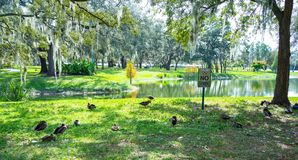 Free Florida Muscovy Duck Is Resting Royalty Free Stock Photos - 164942478
