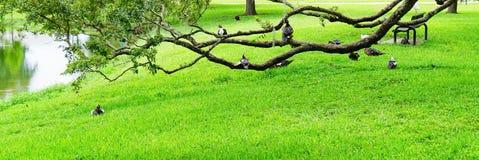 Free Florida Muscovy Duck Is Sleeping Stock Image - 136108481