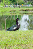 Florida Muscovy duck is resting Royalty Free Stock Photography