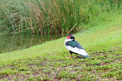 Florida Muscovy duck is resting Stock Photo