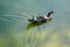 Florida Muscovy duck is swimming Stock Image