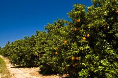 Florida orange grove. Fresh, ripe, juicy, golden oranges, still growing on the trees in this sun-drenched Florida orange grove Stock Images