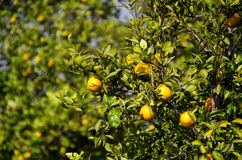Florida orange grove. A Florida orange grove with ripe oranges on the trees Stock Images