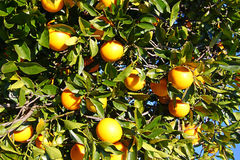 Florida Orange Grove Background Royalty Free Stock Photography