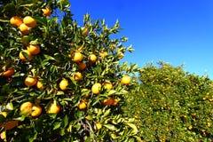 Florida Orange Grove Background Royalty Free Stock Photo
