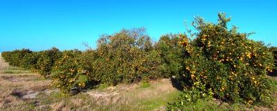 Florida Orange Grove Panorama Stock Images