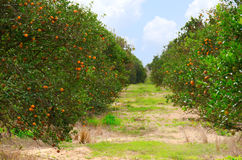 Florida orange grove with ripe oranges. Rows of Florida orange trees in an orange grove on a beautiful fall morning showing the trees full of ripe juicy oranges Stock Image
