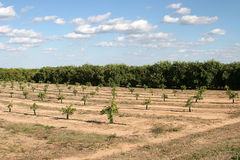 Florida Orange Groves Royalty Free Stock Photo