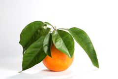 Florida Orange With Leaves Attached. Freshly picked organically grown Florida orange has a stem with leaves attached to it Royalty Free Stock Image