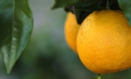 Florida-Orangen Stockfotos