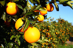 Florida Oranges. Beautiful grove of Florida Oranges on a sunny day Stock Images