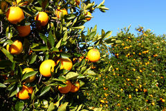 Florida Oranges. The beautiful orange groves of Florida on a sunny day Stock Images