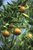 Florida Oranges. Ripe oranges ready to pick from the tree Stock Photo