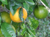 Florida oranges. Florida citrus crop. Orange trees royalty free stock photos