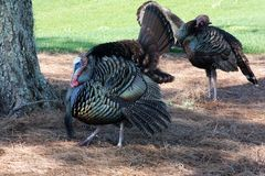 Florida Osceola wild turkey royalty free stock images