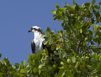 Florida Osprey. Osprey in a tree Southwest Florida Royalty Free Stock Images
