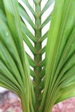 Florida palm. Closeup of closed green palm frond florida Royalty Free Stock Photography