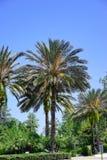 Florida palm tree Royalty Free Stock Photography