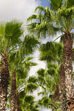 Florida Palm Trees Stock Image