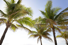 Florida palm trees Stock Photography