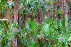 Florida Palmetto Landscape. Palmetto fronds blanket the forest at Highlands Hammock State Park in Florida Royalty Free Stock Photography