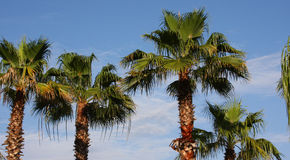 Florida Palms. A picture of palm trees in the sun Royalty Free Stock Image