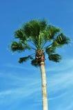 florida palmträd Royaltyfria Foton