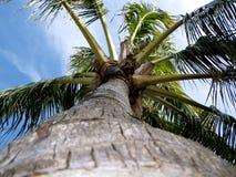Florida palmträd Arkivbild