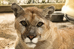 Florida Panther. Portrait close up of an endangered Florida Panther Royalty Free Stock Image