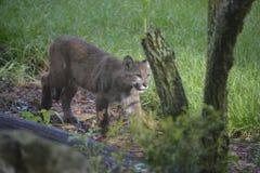 Florida-Panther Lizenzfreie Stockbilder