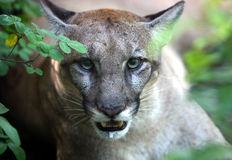 Florida Panther Royalty Free Stock Photography