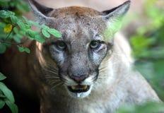 Florida Panther Royalty Free Stock Photography