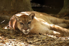Florida Panther. Closeup of a Florida Panther resting in a wooded area Stock Photos