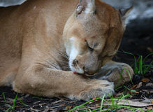 Florida panther cleaning paws Royalty Free Stock Photography