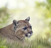 Florida panther or cougar. Close up portrait Royalty Free Stock Photography