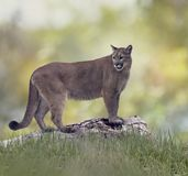 Florida panther or cougar. On a log stock photo