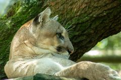 Florida panther stock photography
