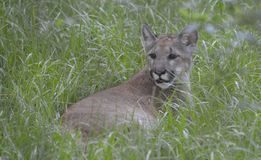 Florida Panther. Seven month old Florida Panther Stock Image